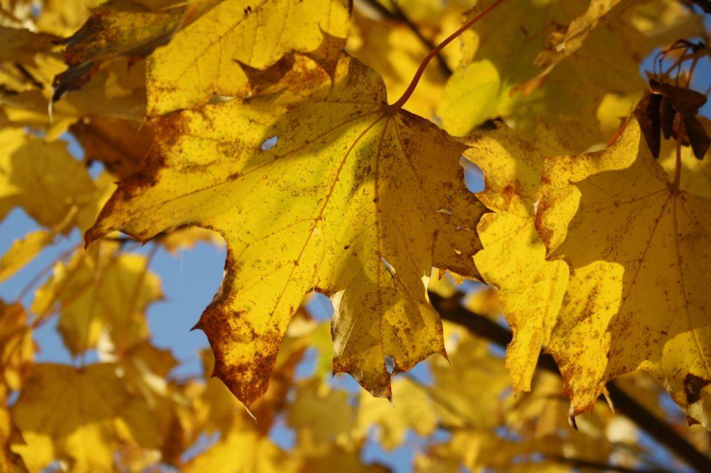 Ahornblätter am Baum