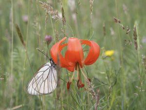 Türkenbundlinie mit Schmetterling