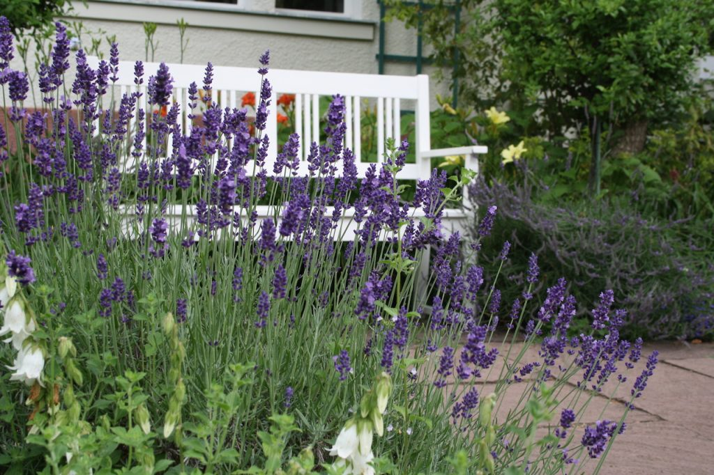 Lavendel im Foerster-Garten Bornim