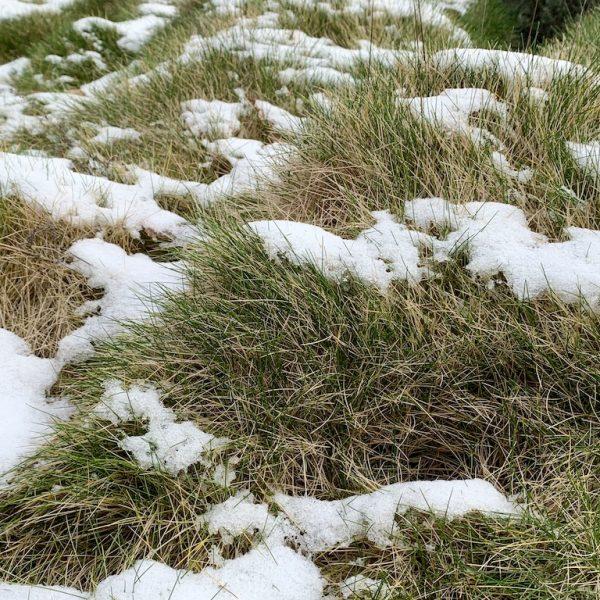 Schneereste auf Bärenfellschwingel